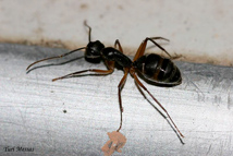 dedetização-de-formigas