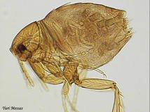 dedetização-de-pulgas