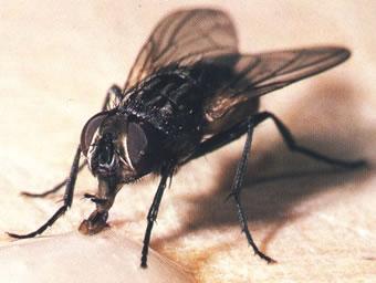 dedetizacao-moscas