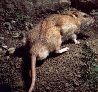 dedetizacao-ratos